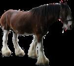 Clydesdale Horse - farm animals - Bev Dunbar Maths Matters