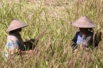 Conical Hats Bali Rice Farmers Bev Dunbar Maths Matters