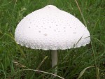 Conical White Mushroom Bev Dunbar Maths Matters
