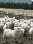 Count the sheep NZ Bev Dunbar Maths Matters