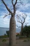 Cylindrical Baobab Trees WA Bev Dunbar Maths Matters