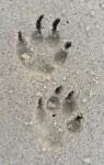 Dog pawprints Bev Dunbar Maths Matters