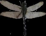 Dragonfly Symmetry Bev Dunbar Maths Matters