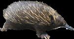 Echidna Spiny Anteater Bev Dunbar Maths Matters