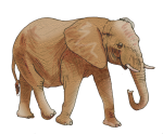 Elephant - wild animal John Duffield duffield-design