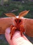 Emperor Gum Moth Symmetry Bev Dunbar Maths Matters