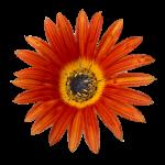 Favourite Flower Gerbra Bev Dunbar Maths Matters