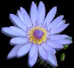 Favourite Flower Water Lily Bev Dunbar Maths Matters