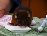 Feeding 10 mL to baby pygmy possum Bev Dunbar Maths Matters