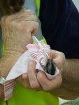 Feeding baby sugar glider 3 mL Bev Dunbar Maths Matters