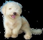 Fluffy white pup - pets - Bev Dunbar maths Matters
