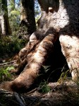 Giant Tingle Tree Base 12.5 m circumference Denmark WA Bev Dunbar Maths Matters