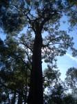 Giant tingle tree 65 m Denmark WA Bev Dunbar Maths Matters