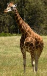 Giraffe - wild animal Bev Dunbar Maths Matters
