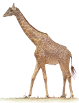 Giraffe - wild animal John Duffield duffield-design