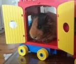 Guinea Pig Bev Dunbar Maths Matters