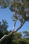 Gum Tree Branch Angles Bev Dunbar Maths Matters