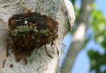 Hexagonal Prism Bees Nest Vanuatu Bev Dunbar Maths Matters