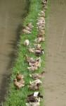 Counting - Bali Ducks - farm animals Bev Dunbar Maths Matters