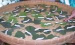How many silkworms? Bev Dunbar Maths Matters