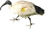 Ibis Number 35 Bev Dunbar Maths Matters