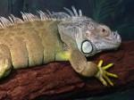 Iguana Lizard Bev Dunbar Maths Matters