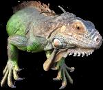 Iguana Bev Dunbar Maths Matters copy