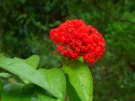 Ixora Prince of Orange Bev Dunbar Maths Matters