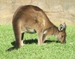 Kangaroo - Australian animal Bev Dunbar Maths Matters