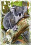 Koala - John Duffield duffield-design
