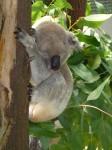 Koala sleeps up to 20 hours per day Bev Dunbar Maths Matters