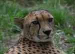 Leopard 1 Bev Dunbar Maths Matters