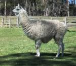 Llama - South America Bev Dunbar Maths Matters