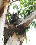 Louis the Koala sleeps up to 22 hours each day -Time