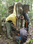 Measuring height of a pygmy elephant DGFC SWD Sabah