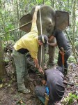 Measuring height of an elephant DGFC SWD Sabah