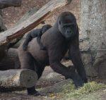 Mother Gorilla & Baby Bev Dunbar Maths Matters
