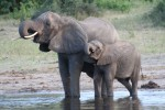 Mother and baby African Elephants Bev Dunbar Maths Matters