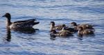 Myall Ducks Bev Dunbar maths Matters