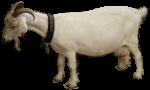 Nanny Goat - farm animal Bev Dunbar Maths Matters