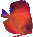 Orange tropical Angel Fish Bev Dunbar Maths Matters