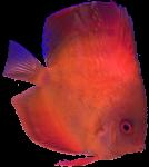 Orange tropical Angel Fish Bev Dunbar Maths Matters