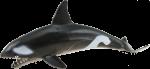 Orca Whale Bev Dunbar Maths Matters
