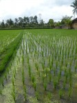 Parallel Rice Rows Bali Bev Dunbar Maths Matters