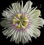 Passionfruit Flower Bev Dunbar Maths Matters