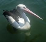 Pelican Myall River Bev Dunbar Maths Matters