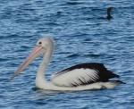 Pelican and cormorant at Jimmys Beach Bev Dunbar Maths Matters