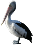 Pelican facing left (Position F/1/2) Bev Dunbar Maths Matters