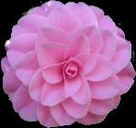 Pink Camelia Bev Dunbar Maths Matters