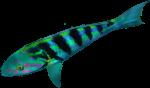 Pink green parrot fish Bev Dunbar Maths Matters